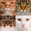 Два гена окраса кошек