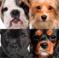 Три гена окраса собак