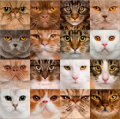 Три гена окраса кошек