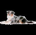 Наследственные заболевания породы Австралийская овчарка (аусси)