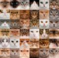 Пять генов окраса кошек