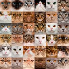 Комплексы на окрасы кошек