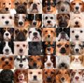 Два гена окраса собак
