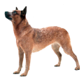 Наследственные заболевания породы Австралийская пастушья собака (хилер)